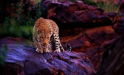 sri-lanka-Leopard1